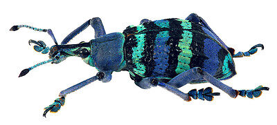 Taxidermy - real papered insects : Curculionidae : Eupholus magnificus