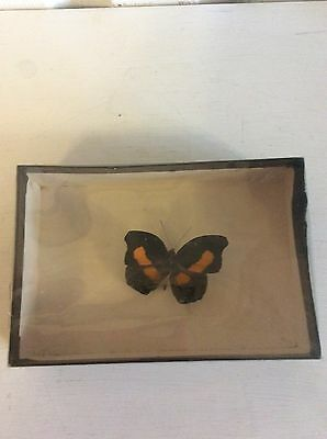 Vintage Real Butterfly Boxed Catonophele Ssp Peru
