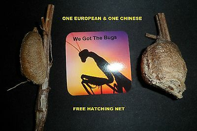 2 Real Live Praying Mantis Egg One Europian & One Chinese  Natural Pest Control