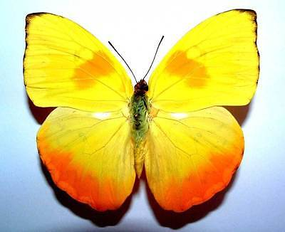 PHOEBIS PHILEA - unmounted butterfly