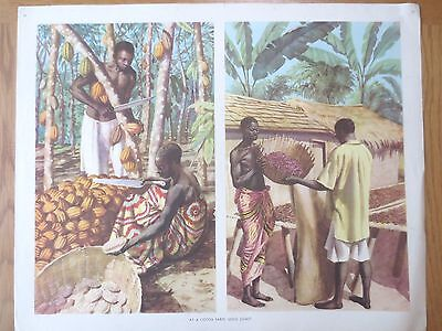 VINTAGE CLASSROOM POSTER 1950s Cocoa Farm Workers Gold Coast Africa Macmillans
