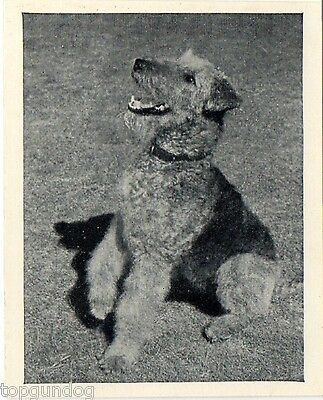 Airedale Terrier Real Photo Trade Card 1955