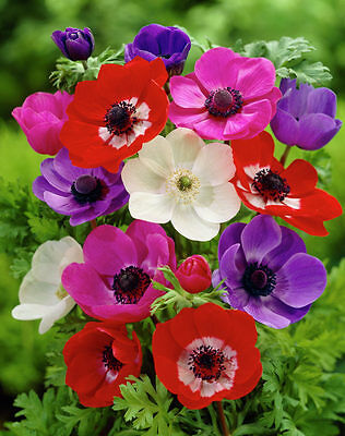 Anemone De Caen Mixed 20 Bulbs Spring & Summer Flowering Ready To Dispatch