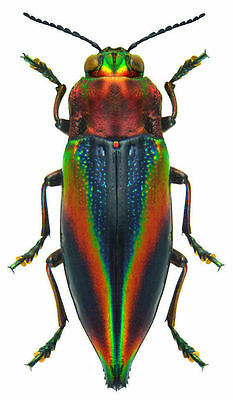 Taxidermy - real papered insects : Buprestidae : Cyphogastra javanica