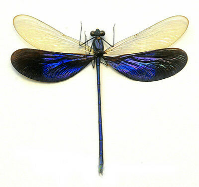 Taxidermy - real papered insects : Odonata : Neurobasis kaupi pavo SPREAD
