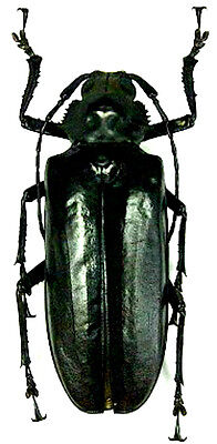 Taxidermy - real papered insects : Cerambycidae : Rhaphipodus bonni