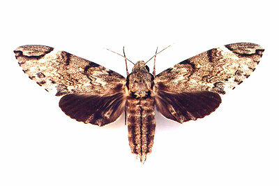 Taxidermy - real papered insects : Sphingidae : Psilogramma increta LARGE