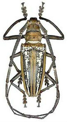 Taxidermy - real papered insects : Cerambycidae : Batocera wallacei 55mm