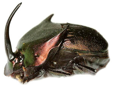 Taxidermy - real papered insects : Scarabaeidae : Phanaeus triangularis texensis