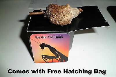 Praying Mantis Egg Case  They Are $1.75  A Peace