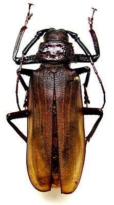 Taxidermy - real papered insects : Cerambycidae : Macrotoma fischeri PAIR 65/70