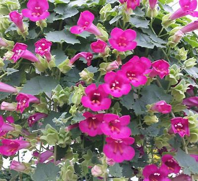Creeping Gloxinia Vine 10 Seeds,Mexican Pink Vine,Twining Snapdragon