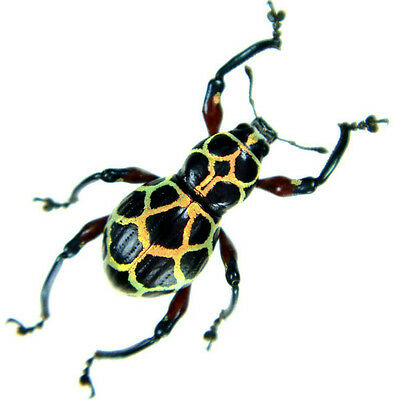 Taxidermy - real papered insects : Curculionidae : Pachyrrhynchus reticulatus