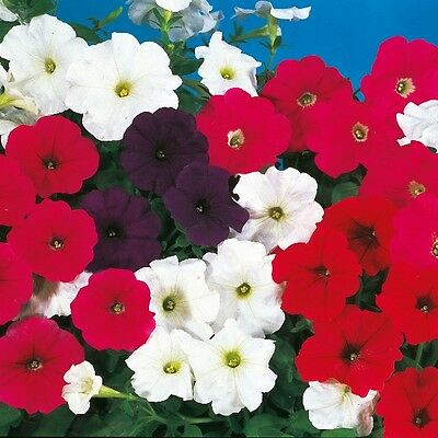 New Pack Kings Seed Trailing Petunia 'Cascade Mixed' F1 Quality Flower Seeds