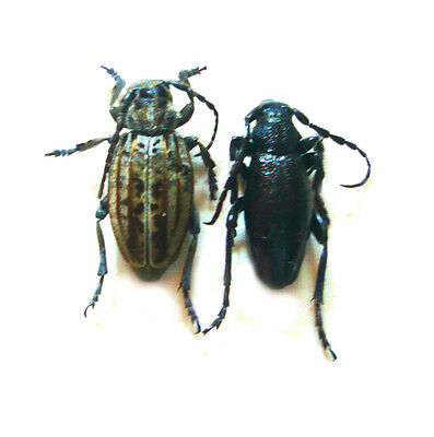 Taxidermy - real papered insects : Cerambycidae : Dorcadion  postalbosuturale PR