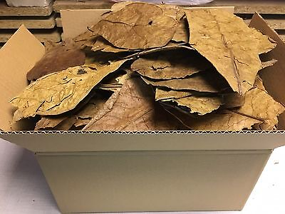 350 Gram unsorted B-Grade Indian Almond Catappa Leaves FREE SHIPPING - Shrimps..