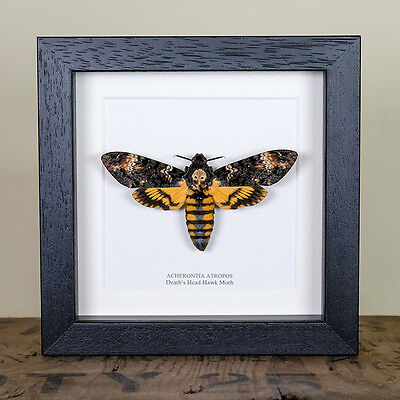 Deaths Head Hawk Moth in Box Frame (Acherontia atropos)
