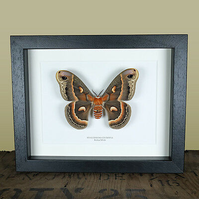 Robin Moth in Box Frame (Hyalophora cecropia)