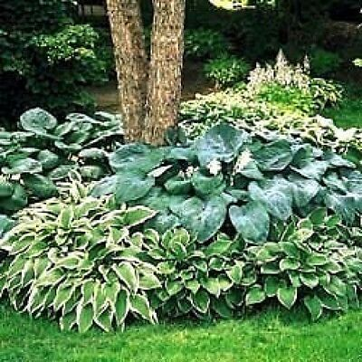Hosta Mixed Seeds -Blue,Green,Variegated,Wavy,Shiny,Smooth -AMAZING MIX