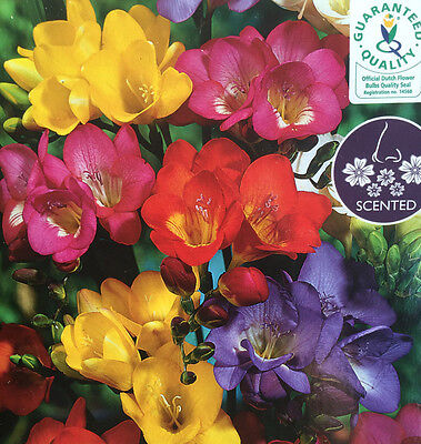 Freesia Bulb Corms Mixed Scented Summer Flowering Perennial Garden Quality Plant