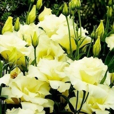 Lisianthus Double Yellow Seeds -Rare,Stunning,Big Bloom