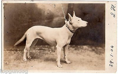 Original  Private Real Photographic Bull Terrier Dog Postcard 1904