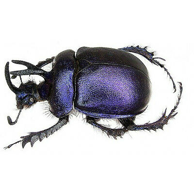 Taxidermy - real papered insects : Geotrupinae : Anoplotrupes sharpi