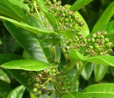 Allspice 10 Seeds ornamental evergreen produces cooking spice Pimenta