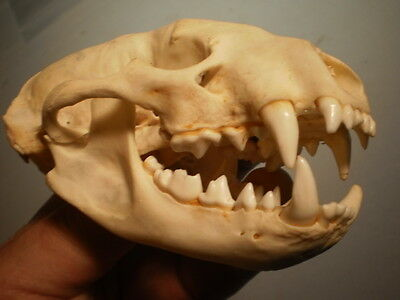 Badger Taxidermy SKULL 4 1/2   inches HUGE great teeth perfect