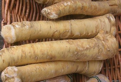 Root Katran (horseradish) Seeds Heirloom Vegetable