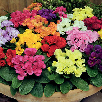 Primula Spring bouquet MIX Flower Seeds from Ukraine / 90 seeds