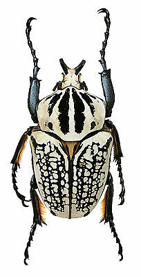 Taxidermy - real papered insects : Cetonidae : Goliathus orientalis 55/65mm