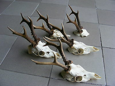 Collection of 5 Roe Deer Antlers taxidermy skull head hunting