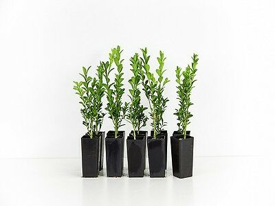Buxus sempervirens 'English Box'-Create a great Hedge Evergreen Plant 10 plants
