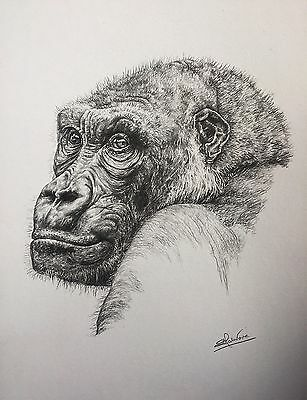 Pencil drawing - Gorilla sketch, original, signed not a print - Lucy Malivoire