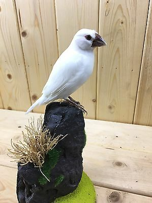 Taxidermy Stuffing European Goldfinch mutation with base - Real Bird Canary