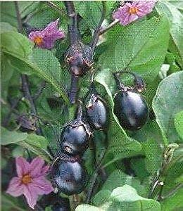 Mini Bambino Eggplant 10 Seeds, Heirloom,Dwarf plants,never bitter fruits,harves