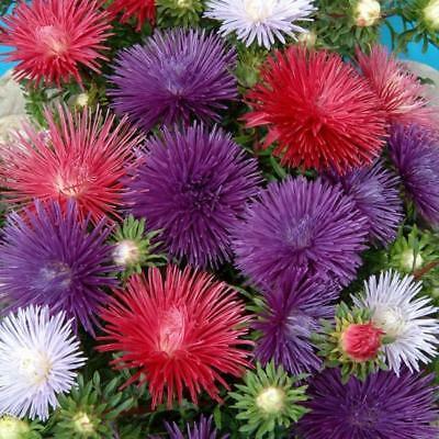 Pack Flower Seed Aster 'Starlight Mixed' King's Quality Seeds