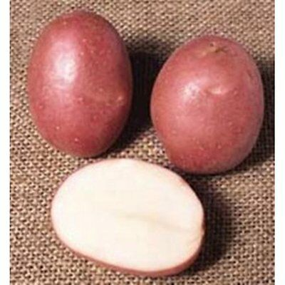 Robinta Maincrop Organic Seed Potatoes