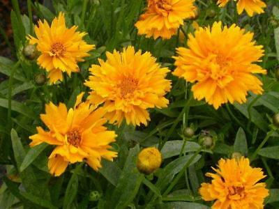 Pack x6 Coreopsis 'Early Sunrise' Perennial Garden Plug Plants