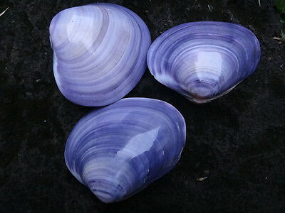 3 pcs Polished Purple Clam Shells