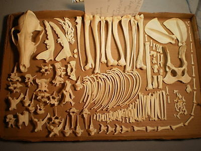 Taxidermy skeleton real red fox disarticulated clean sorted by bone type female
