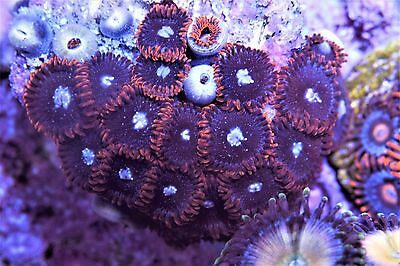 WOW! Red Tuxedo Zoas Zoanthids High End Soft Marine Coral Frag Plug 22p+ Colony