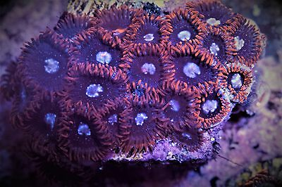 WOW! Red Tuxedo Zoas Zoanthids High End Soft Marine Coral Frag Plug 25p+ Colony