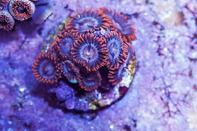 XO Spectral Hearts Zoas Zoanthid High End Soft Marine Coral Frag Plug 12p Colony