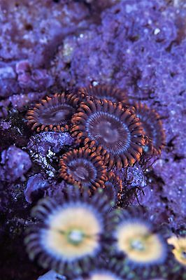 Sweet! XO Spectral Hearts Zoas Zoanthid High End Soft Marine Coral 7p Frag Plug