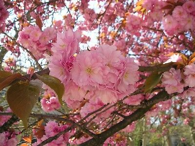 100 Japanese Cherry Sakura seeds Prunus serrulata * Bonsai * Ornamental * CombSH