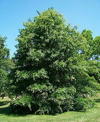 Quercus palustris (Pin oak tree) in 50mm forestry tube