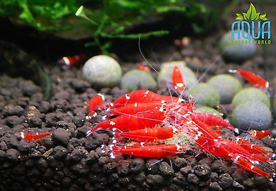 3x Super Red Crystal Two Stripes shrimp group Algae Clean Up Aquarium live fish