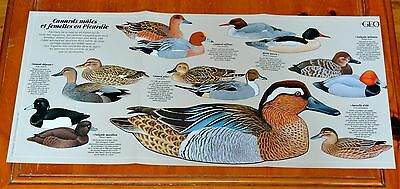 Beautiful French Ducks Poster From 1992 - Various Types Illustrations / Text